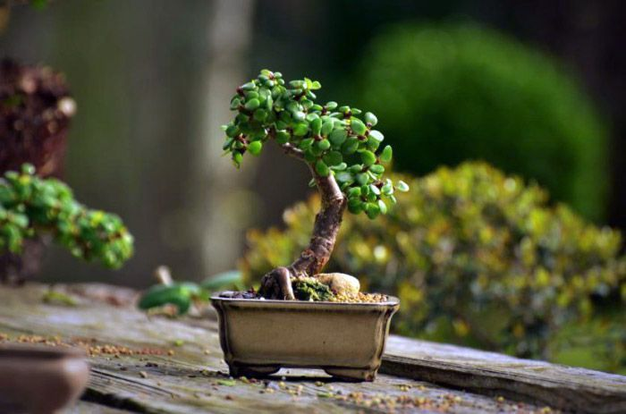 Decorar la casa con Bonsai
